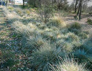 Festuca idahoensis 39 siskiyou blue 39 idaho fescue grass in for Mass planting grasses